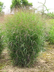 Prairie Sky Switch Grass (Panicum virgatum 'Prairie Sky') at Gardener's Supply Company