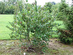 Viking Chokeberry (Aronia x prunifolia 'Viking') at Gardener's Supply Company