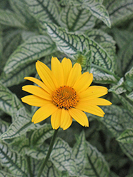 Loraine Sunshine False Sunflower (Heliopsis helianthoides 'Loraine Sunshine') at Gardener's Supply Company