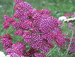 Cerise Queen Yarrow (Achillea millefolium 'Cerise Queen') at Gardener's Supply Company