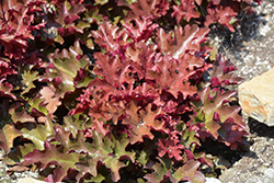 Dolce® Cinnamon Curls™ Coral Bells (Heuchera 'Inheuredfu') at Gardener's Supply Company