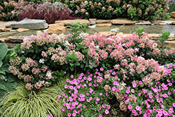 Little Quick Fire® Hydrangea (Hydrangea paniculata 'SMHPLQF') at Gardener's Supply Company