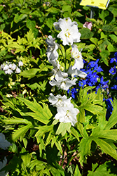 Guardian White Larkspur (Delphinium 'Guardian White') at Gardener's Supply Company