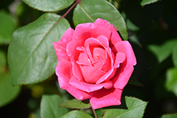 Pink Double Knock Out® Rose (Rosa 'Radtkopink') at Gardener's Supply Company