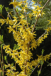 Meadowlark Forsythia (Forsythia 'Meadowlark') at Gardener's Supply Company