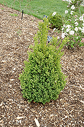 Green Mountain Boxwood (Buxus 'Green Mountain') at Gardener's Supply Company