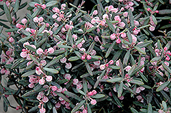 Blue Ice Bog Rosemary (Andromeda polifolia 'Blue Ice') at Gardener's Supply Company