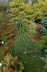 Farnsburg Norway Spruce (Picea abies 'Farnsburg') at Gardener's Supply Company