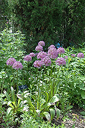 Globemaster Ornamental Onion (Allium 'Globemaster') at Gardener's Supply Company