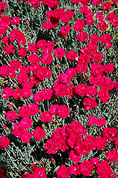 Frosty Fire Pinks (Dianthus 'Frosty Fire') at Gardener's Supply Company
