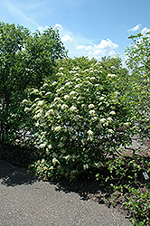 Witherod Viburnum (Viburnum cassinoides) at Gardener's Supply Company