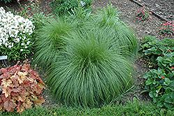 Prairie Dropseed (Sporobolus heterolepis) at Gardener's Supply Company