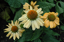 Aloha Coneflower (Echinacea 'Aloha') at Gardener's Supply Company