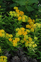 Hello Yellow Milkweed (Asclepias tuberosa 'Hello Yellow') at Gardener's Supply Company