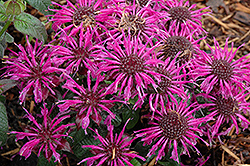 Balmy Purple Beebalm (Monarda didyma 'Balbalmurp') at Gardener's Supply Company