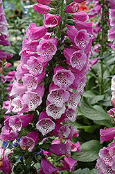 Dalmatian Purple Foxglove (Digitalis purpurea 'Dalmatian Purple') at Gardener's Supply Company