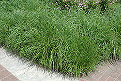 Fountain Grass (Pennisetum alopecuroides) at Gardener's Supply Company