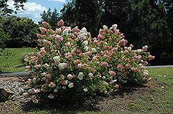Vanilla Strawberry™ Hydrangea (Hydrangea paniculata 'Renhy') at Gardener's Supply Company