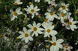 Cosmic Evolution Tickseed (Coreopsis 'Cosmic Evolution') at Gardener's Supply Company