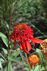 Cone-fections™ Hot Papaya Coneflower (Echinacea 'Hot Papaya') at Gardener's Supply Company