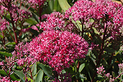 Carl Stonecrop (Sedum 'Carl') at Gardener's Supply Company