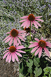 Prairie Splendor Coneflower (Echinacea purpurea 'Prairie Splendor') at Gardener's Supply Company