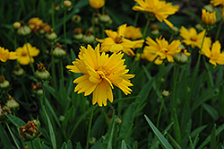Sun Up Tickseed (Coreopsis grandiflora 'Sun Up') at Gardener's Supply Company