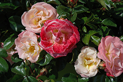 Peach Drift® Rose (Rosa 'Meiggili') at Gardener's Supply Company