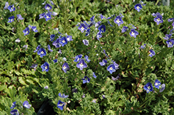 Tidal Pool Speedwell (Veronica 'Tidal Pool') at Gardener's Supply Company