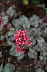 Rave On Coral Bells (Heuchera 'Rave On') at Gardener's Supply Company