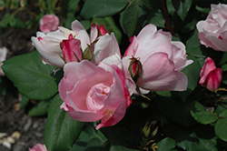 Blushing Knock Out® Rose (Rosa 'Radyod') at Gardener's Supply Company