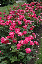 Double Knock Out® Rose (Rosa 'Radtko') at Gardener's Supply Company