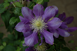 Chevalier Clematis (Clematis 'Evipo040') at Gardener's Supply Company