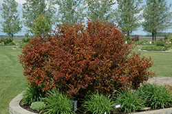 Coppertina® Ninebark (Physocarpus opulifolius 'Mindia') at Gardener's Supply Company
