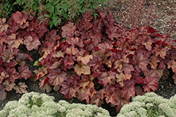 Lava Lamp Coral Bells (Heuchera 'Lava Lamp') at Gardener's Supply Company