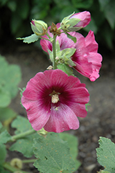 Halo Cerise Hollyhock (Alcea rosea 'Halo Cerise') at Gardener's Supply Company