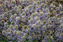 Blue Glitter Sea Holly (Eryngium planum 'Blue Glitter') at Gardener's Supply Company