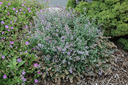 Cat's Meow Catmint (Nepeta x faassenii 'Cat's Meow') at Gardener's Supply Company