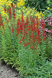 Cardinal Flower (Lobelia cardinalis) at Gardener's Supply Company