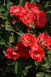 Coral Drift® Rose (Rosa 'Meidrifora') at Gardener's Supply Company