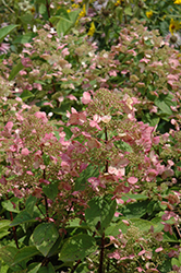 Fire And Ice Hydrangea (Hydrangea paniculata 'Wim's Red') at Gardener's Supply Company