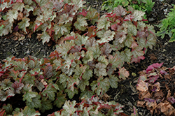 Carnival Fall Festival Coral Bells (Heuchera 'Fall Festival') at Gardener's Supply Company