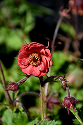 Flames of Passion Avens (Geum 'Flames of Passion') at Gardener's Supply Company