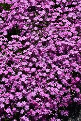 Emerald Pink Moss Phlox (Phlox subulata 'Emerald Pink') at Gardener's Supply Company
