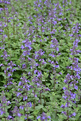 Blue Wonder Catmint (Nepeta x faassenii 'Blue Wonder') at Gardener's Supply Company