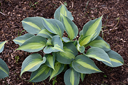 Touch Of Class Hosta (Hosta 'Touch Of Class') at Gardener's Supply Company