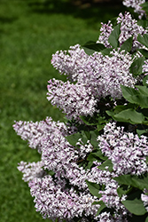 Miss Kim Lilac (Syringa patula 'Miss Kim') at Gardener's Supply Company