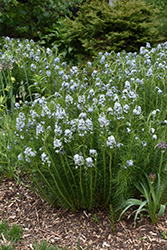 Narrow-Leaf Blue Star (Amsonia hubrichtii) at Gardener's Supply Company