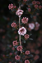 Little Devil™ Ninebark (Physocarpus opulifolius 'Donna May') at Gardener's Supply Company