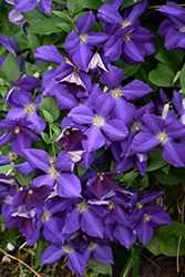 Jackmanii Clematis (Clematis x jackmanii) at Gardener's Supply Company
